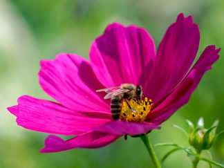 Biene bestäubt Blume