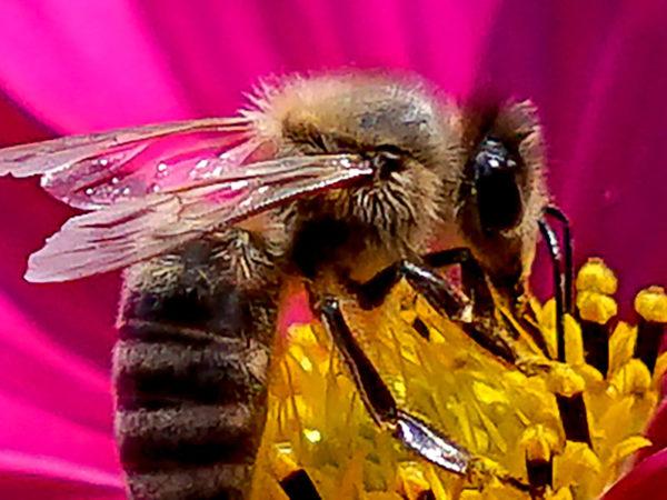 Biene Blüte Pollen
